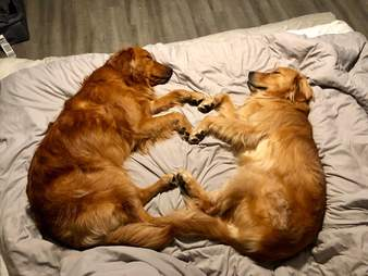 dog couple have a sleepover