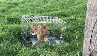 Lion cub inside metal dog cage