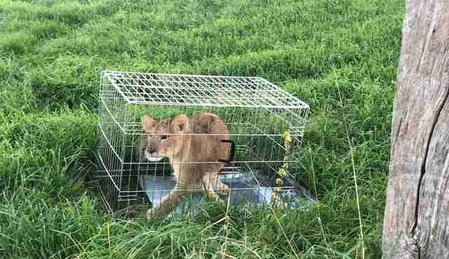 Lion cub inside metal dog cage