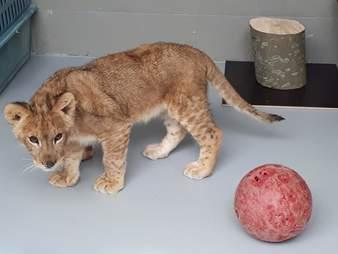 Rescued lion cub inside enclosure