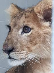 Close-up of lion cub's face