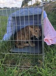 Lion cub inside metal cage