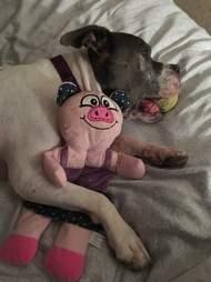 Dog sleeping in bed with stuffed animal