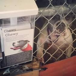 Pit bull standing on kennel door