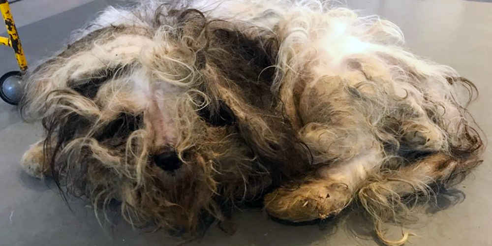 Stray Dog Was So Matted No One Knew What Kind Of Dog He Was