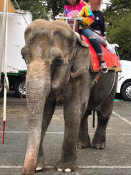 Elephant giving people rides at fair