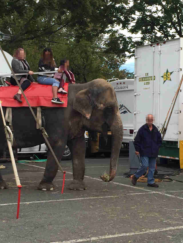 Old elephant forced to give rides