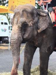 Old elephant forced to work at fair