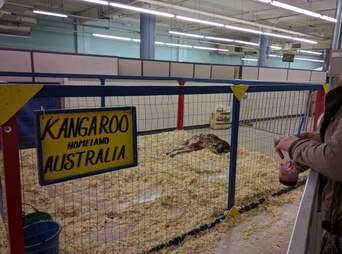 Kangaroo lying in cage