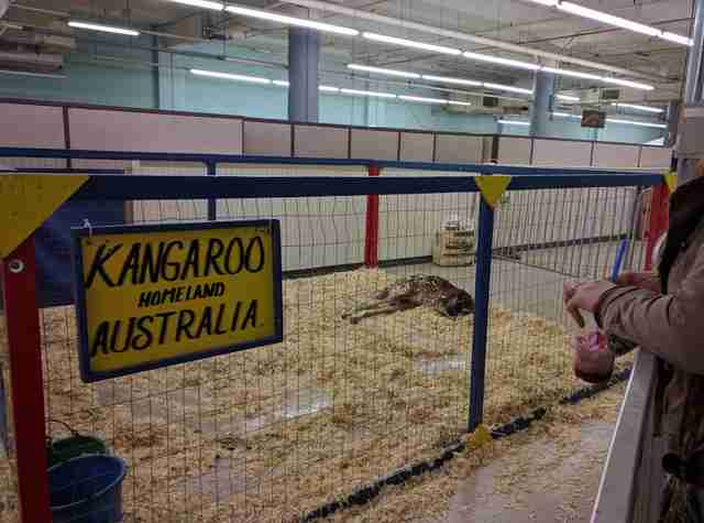 Kangaroo lying in cage