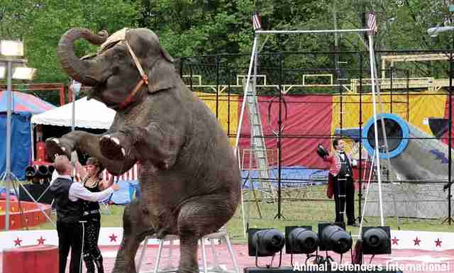 Elephant being used in circus act