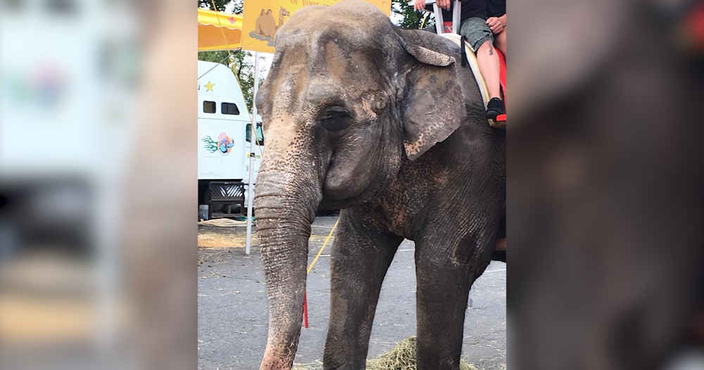 Sick Elephant Forced To Give Rides At Fair