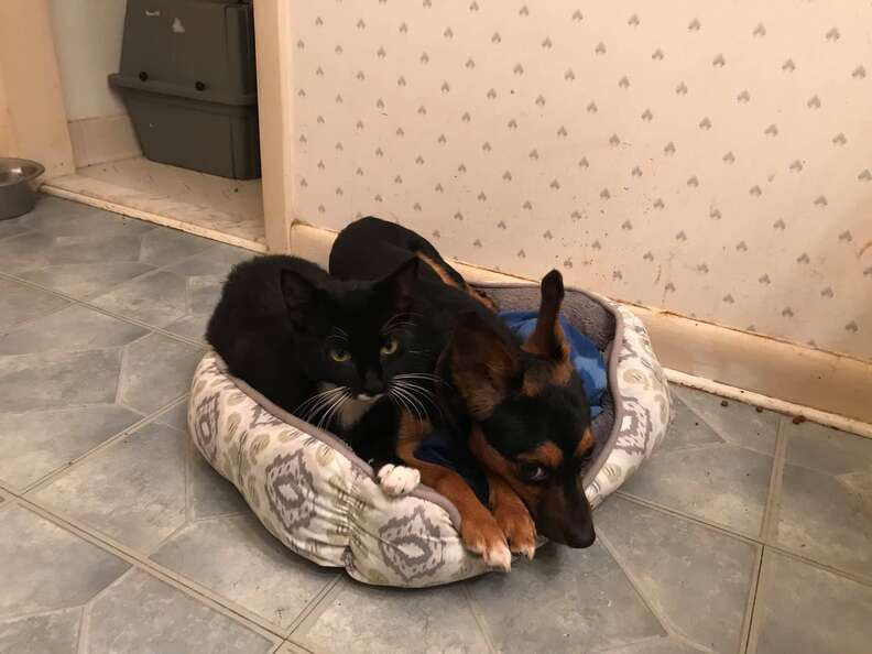 Bonded dog and cat snuggle together