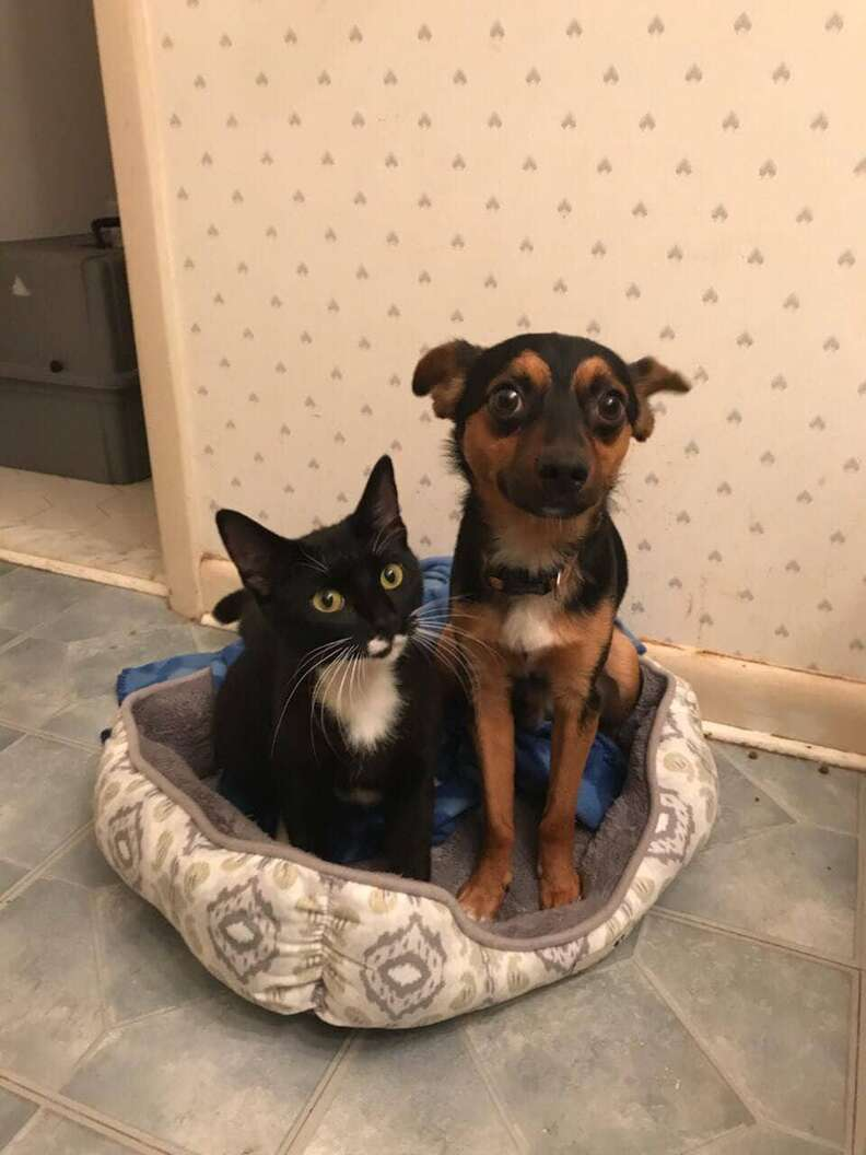 Bonded kitten and dog friends at their foster home Hampton Roads, VA