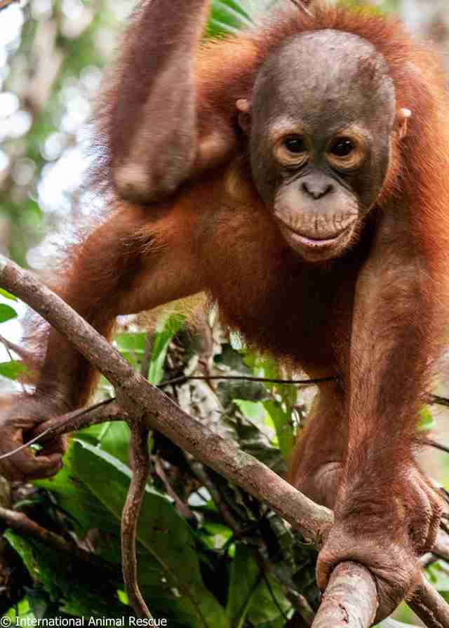 Baby orangutan standing in tree