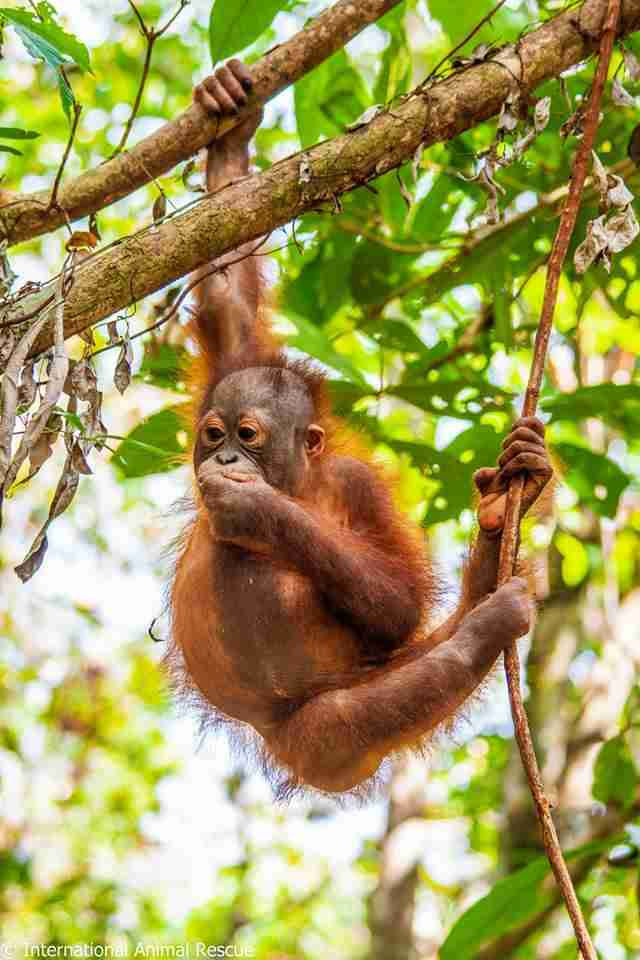 Young orangutan swinging through tree