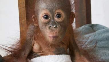 Baby orangutan with food on his nose