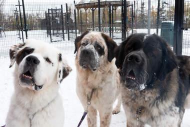 Homeless Saint Bernard dogs Goliath, Gunther and Gasket