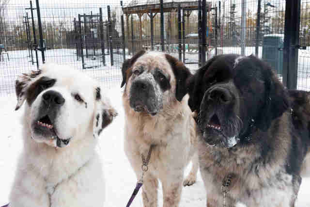 Homeless Saint Bernard dogs Goliath, Gunther and Gasket