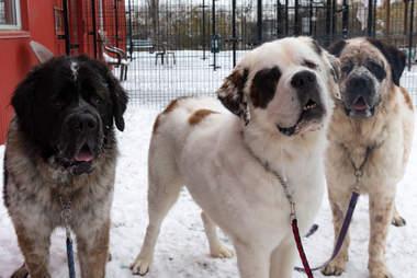 Three Saint Bernards looking for a home in Edmonton, Canada