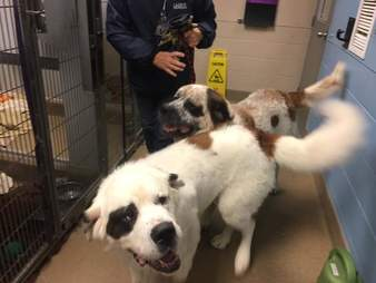 Saint Bernards, Gunther and Gasket at a Canadian animal shelter