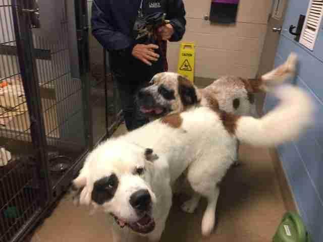 Saint Bernards, Gunther and Gasket at a Canadian animal shelter