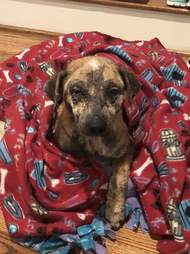 Rescued dog wrapped up in fleece blanket