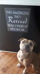 Rescue pit bull sitting in front of rescue sign