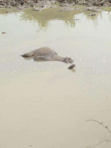 Baby elephant floating in dam
