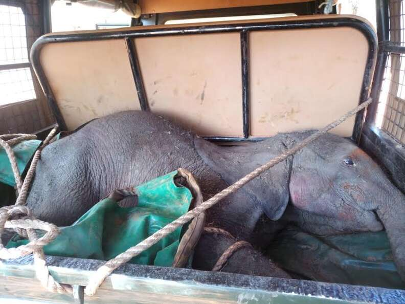 Baby elephant in the back of a vehicle
