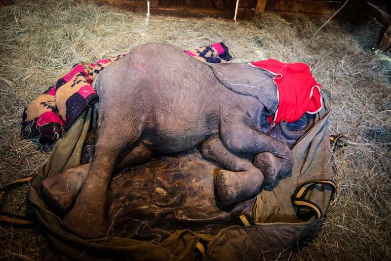 Baby elephant lying on ground of stall