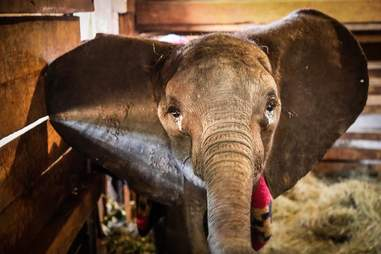 Baby elephant standing in stall