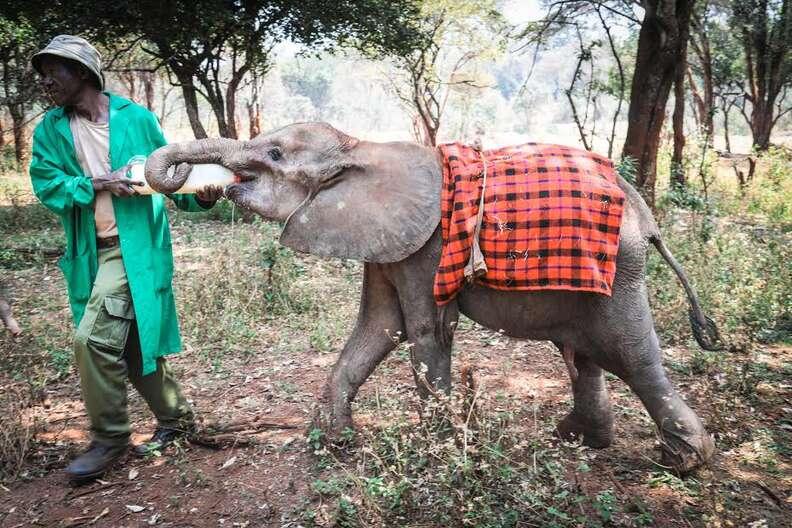 Baby elephant drinking milk from bottle