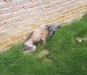 Dog with mange sitting on grass