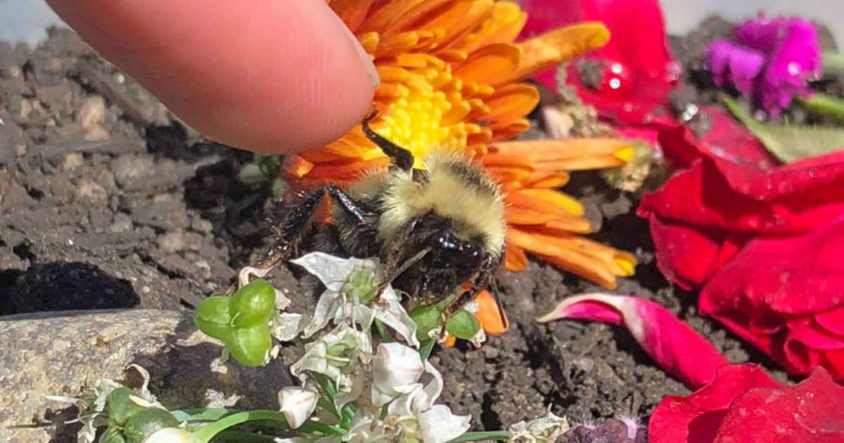 One-Winged Bee Gives Tiniest High Five To Woman Who Saved Her