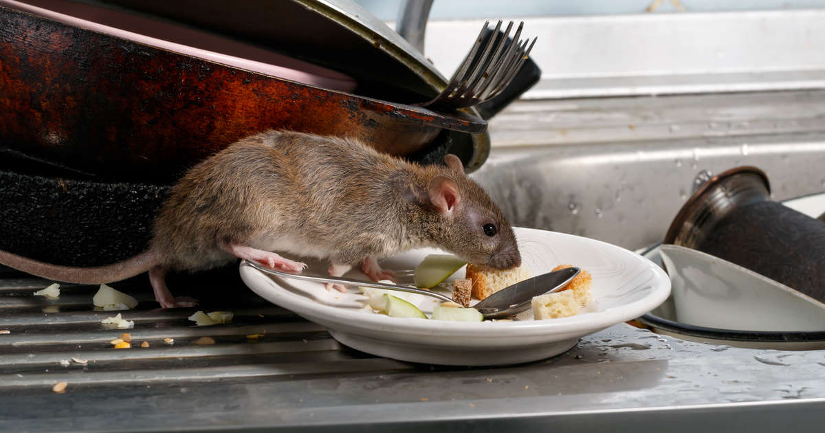 These Are the Cities With the Worst Rat Problems in the Country