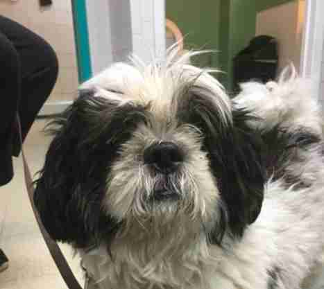 Shih Tzu Charlie at animal shelter in New Jersey