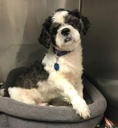Charlie the stray Shih Tzu at the Associated Humane Tinton Falls