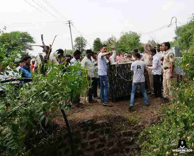 Rescuers lowering cage to rescue leopard