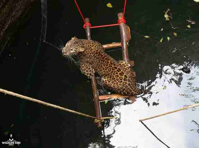 Leopard who fell into well