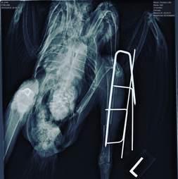 Chicken x-ray after surgery to fix her broken leg