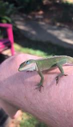 injured lizard