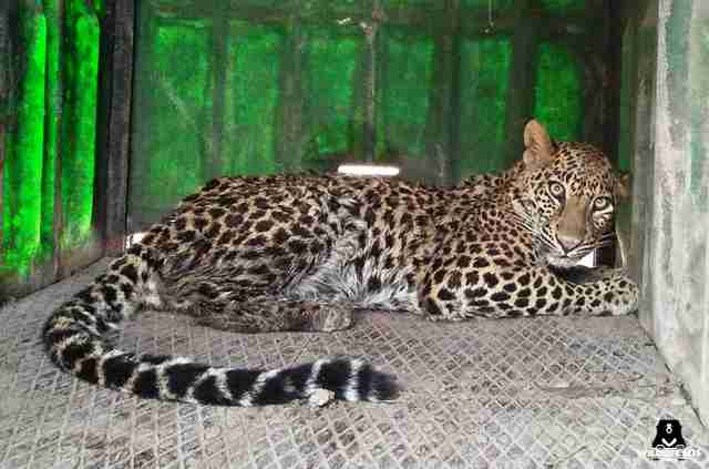 Leopard recovering after falling into well