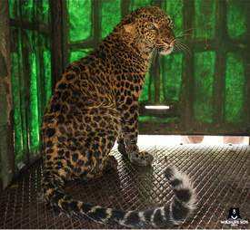 Leopard rescued from 50-foot well in India