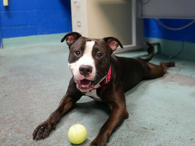 Smiling shelter dog posing with tennis ball