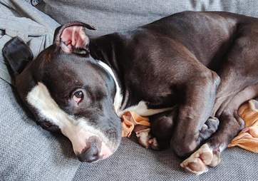 Pit bull sleeping on bed