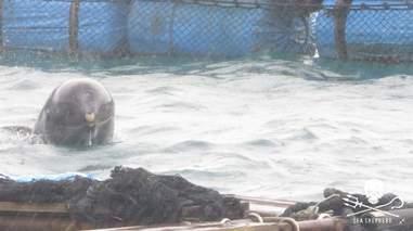 Risso's dolphin inside a sea pen
