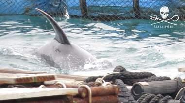 Captive dolphin inside sea pen