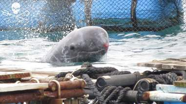 Captive dolphin with red, raw snout