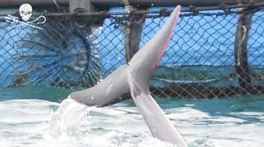 Captive dolphin with injured fluke
